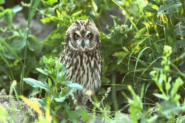 Как определить болотную сову