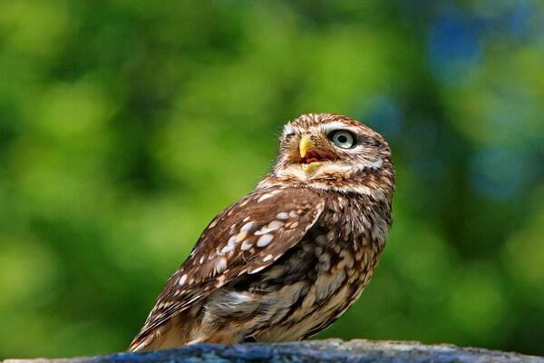 Как определить сову из рода сычей