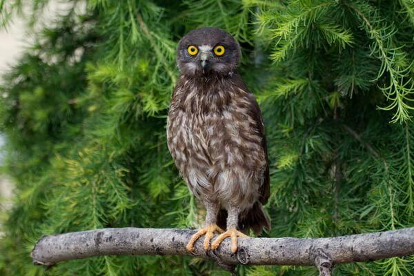 Как определить вид совы - основные различия