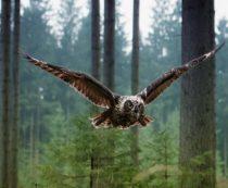 Как определить сову
