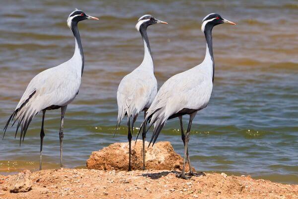 Птица журавль - описание
