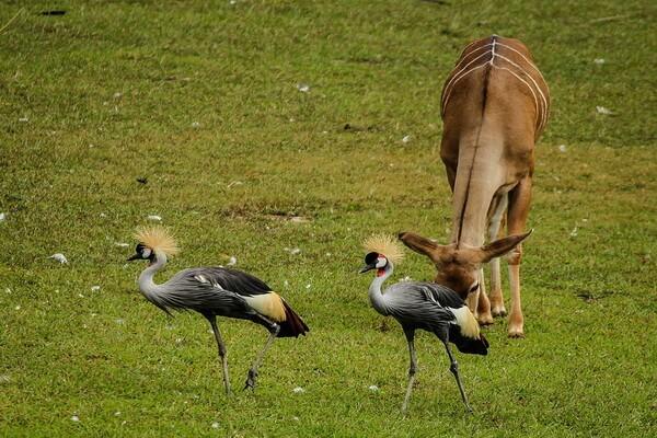 Виды журавлей с фото и описанием - Восточный венценосный журавль