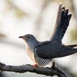 Кукушка. Интересные факты о птице