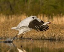 Американский журавль - фото и описание вида