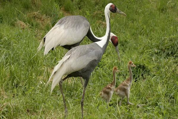 Даурский журавль - описание внешнего вида птицы