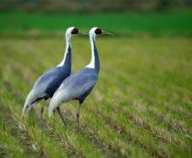 Даурский журавль - фото и описание птицы