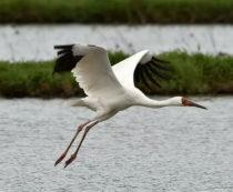 Стерх или белый журавль - фото и описание птицы