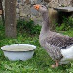 Серый гусь: описание породы, особенности ухода и кормления