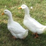 Утка агидель: кросс для практичных фермеров