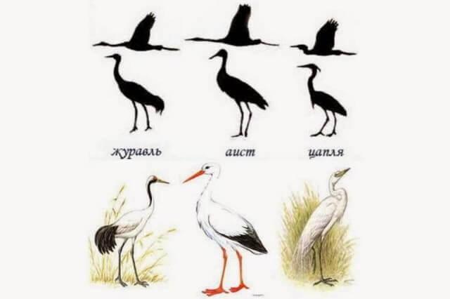 Аист, цапля и журавль - характерные отличия во внешнем виде птиц