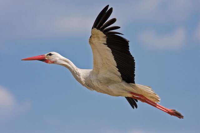 Аист, цапля и журавль - как отличить этих птиц в полёте
