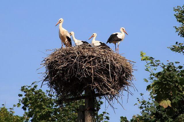 Гнездо аиста - отличие от жилища журавлей и цапель