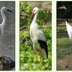 Аист, цапля и журавль: отличия птиц
