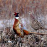 Охотничий фазан: описание гибрида, особенности кормления и разведения