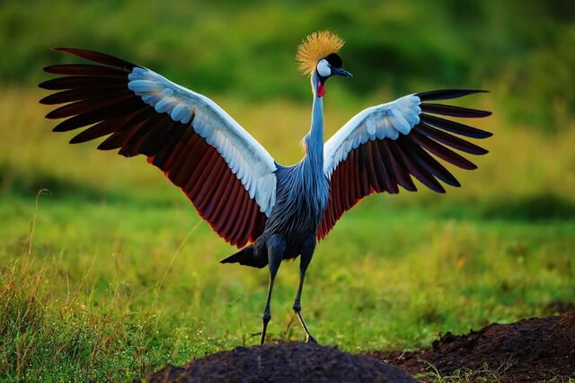 Венценосный журавль - описание внешнего вида птицы