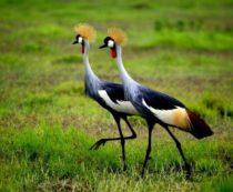 Венценосный журавль - фото и описание вида